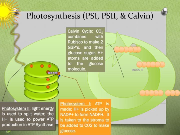 Photosynthesis (PSI, PSII, & Calvin)