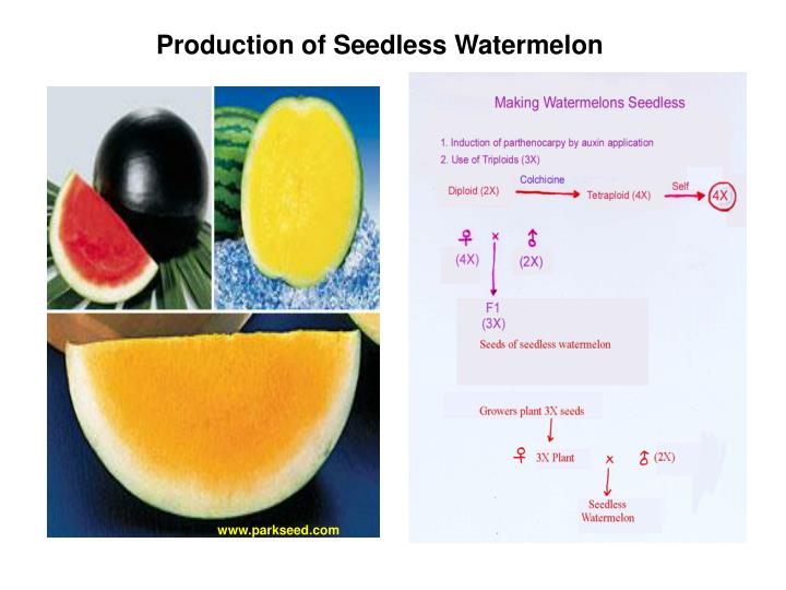Production of Seedless Watermelon