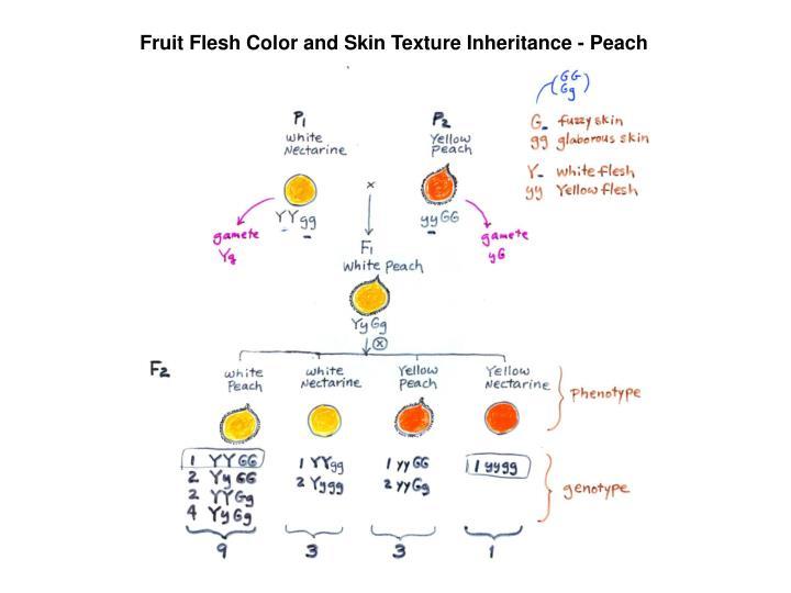 Fruit Flesh Color and Skin Texture Inheritance - Peach