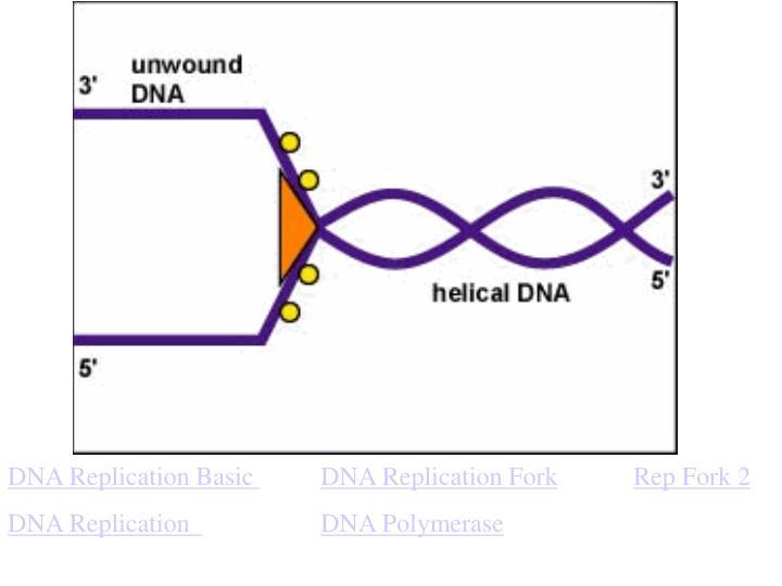 DNA Replication Basic