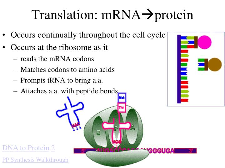 Translation: mRNA