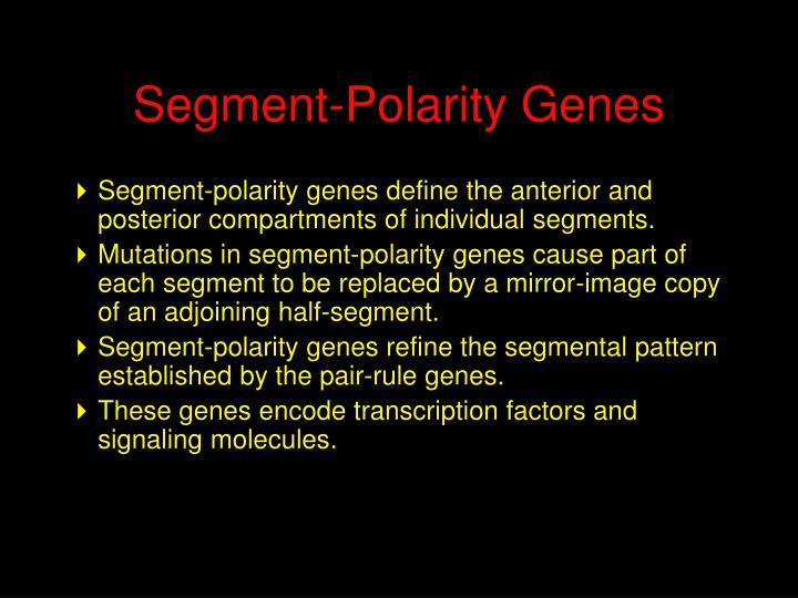 Segment-Polarity Genes