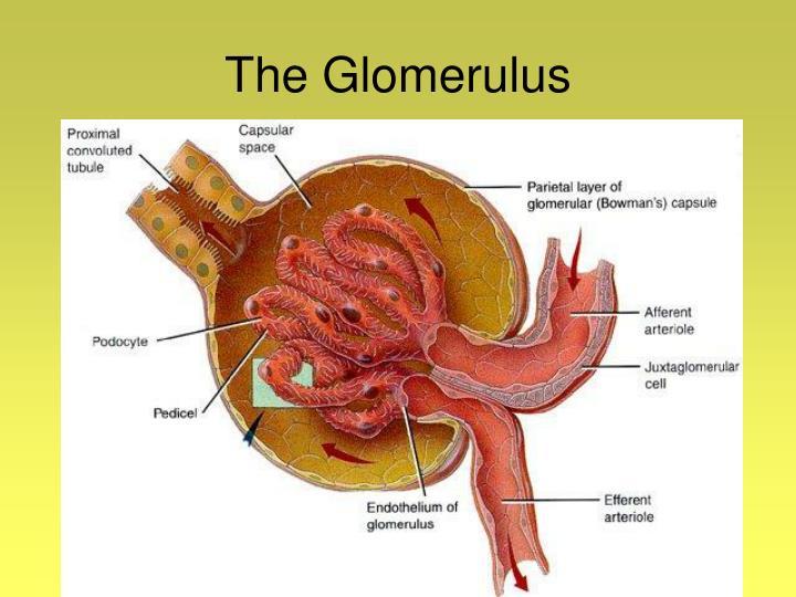 The Glomerulus