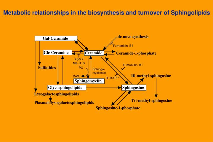 Metabolic relationships in the biosynthesis and turnover of Sphingolipids