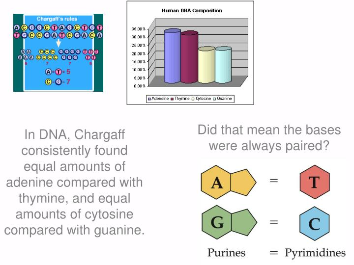 In DNA, Chargaff consistently found equal amounts of adenine compared with thymine, and equal amounts of cytosine compared with guanine.