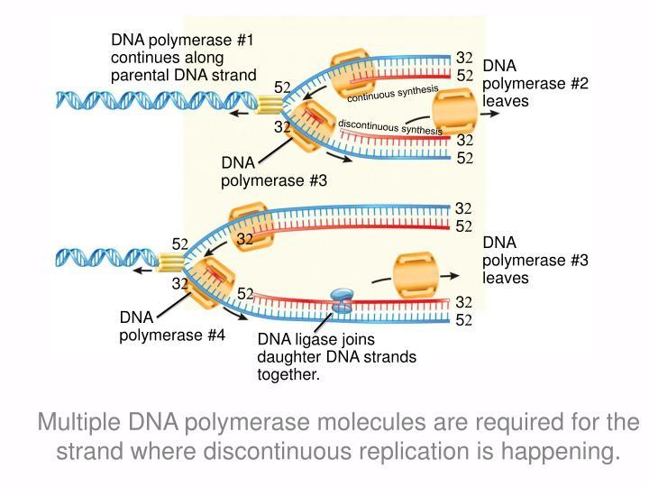 DNA polymerase #1