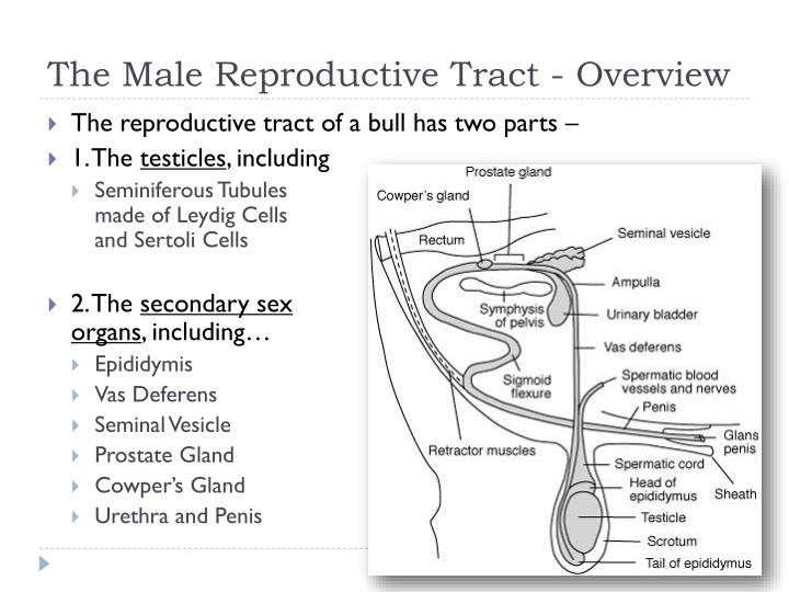 Cattle Male Reproductive Diagram All Kind Of Wiring Diagrams