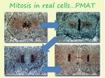 mitosis in real cells pmat