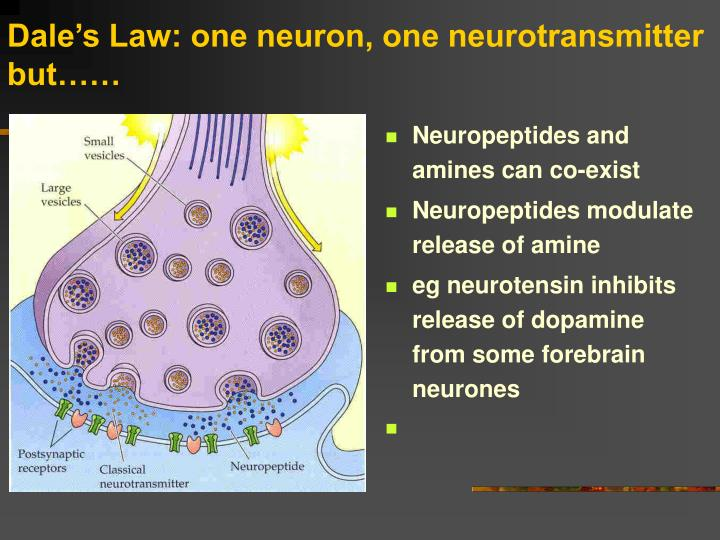 Dale's Law: one neuron, one neurotransmitter