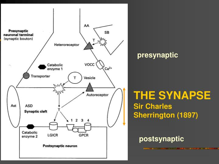 The synapse sir charles sherrington 1897