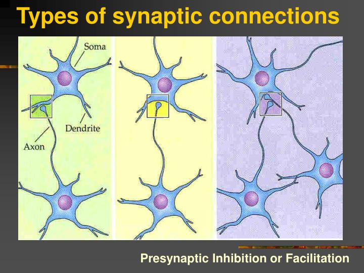 Types of synaptic connections