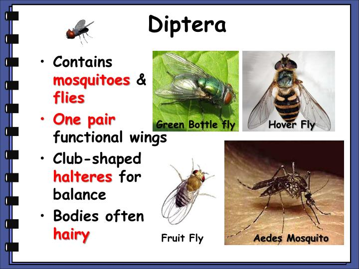 Diptera