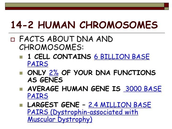 14-2 HUMAN CHROMOSOMES