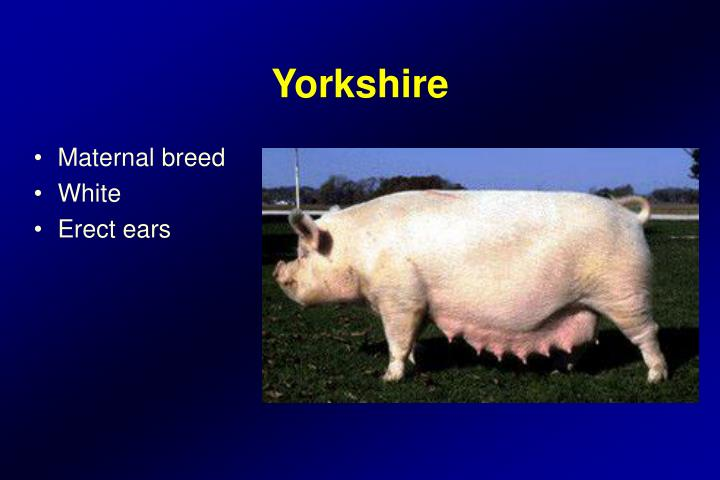 Maternal breed