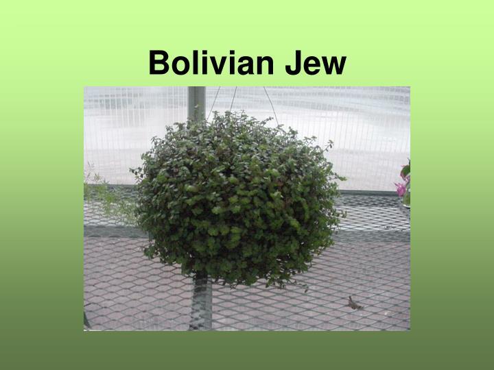 Bolivian Jew