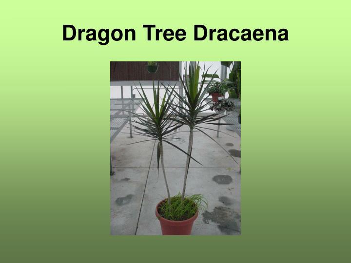Dragon Tree Dracaena