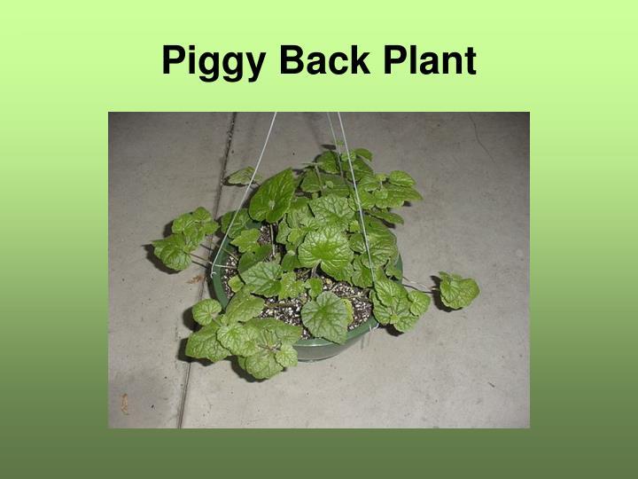 Piggy Back Plant