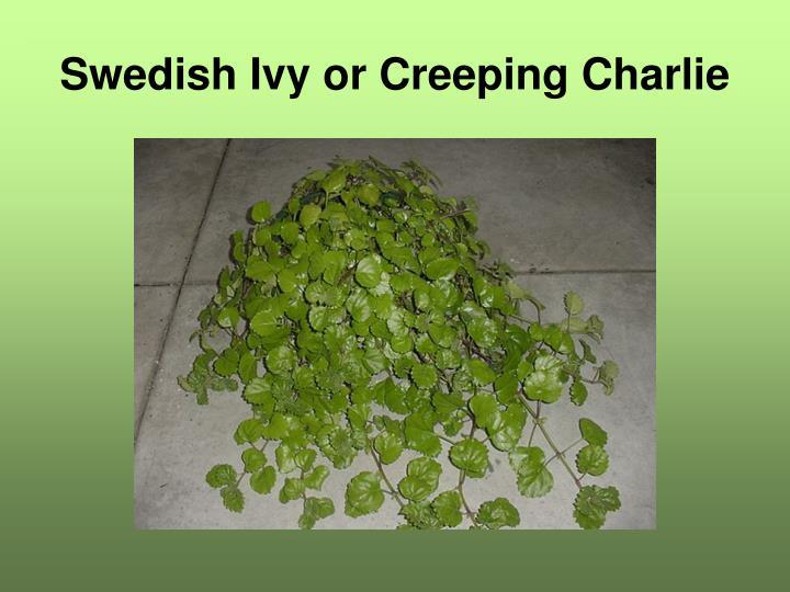 Swedish Ivy or Creeping Charlie