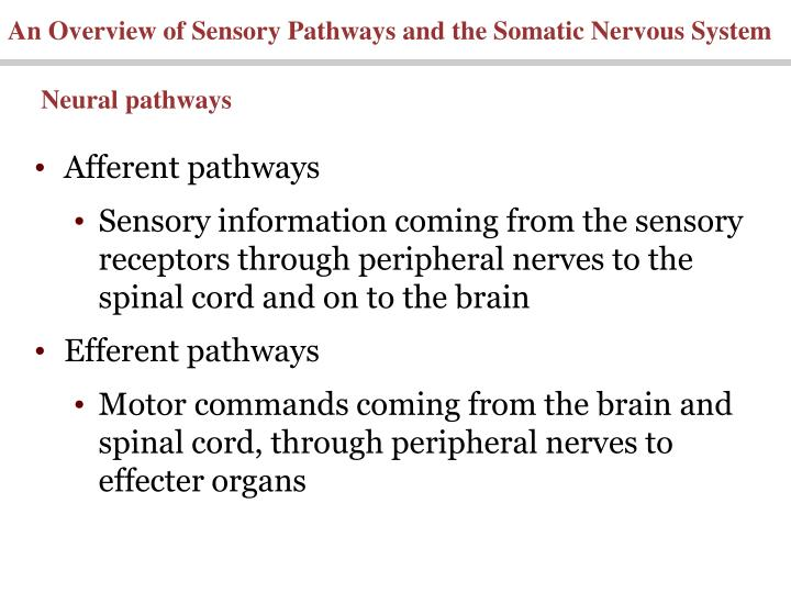 An Overview of Sensory Pathways and the Somatic Nervous System