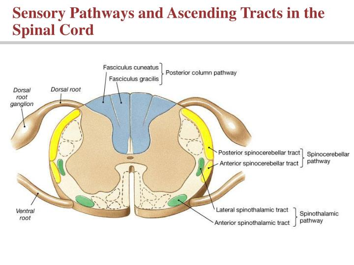 Sensory Pathways and Ascending Tracts in the Spinal Cord