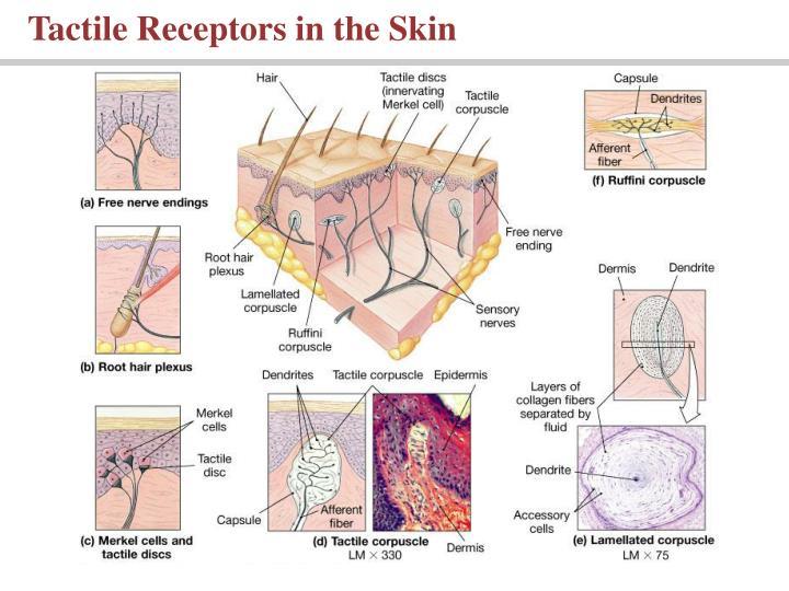Tactile Receptors in the Skin