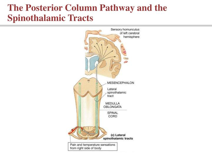The Posterior Column Pathway and the Spinothalamic Tracts