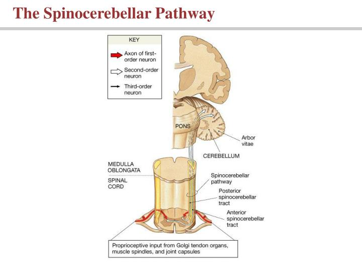 The Spinocerebellar Pathway