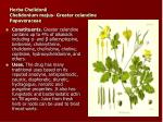herba chelidonii chelidonium majus greater celandine papaveraceae