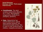 herba macleayae macleaya cordata plume poppy papaveraceae