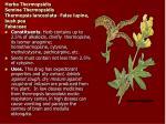 herba thermopsidis semina thermopsidis thermopsis lanceolata false lupine bush pea fabaceae