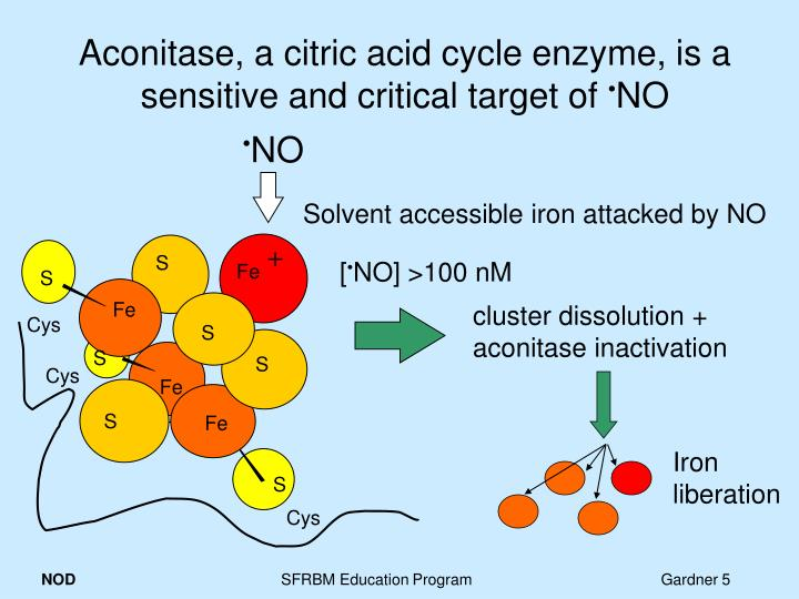 Aconitase, a citric acid cycle enzyme, is a sensitive and critical target of