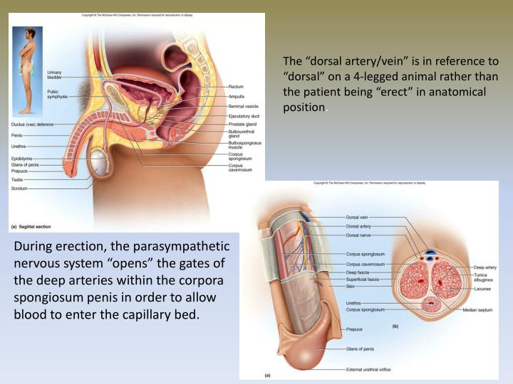 "The ""dorsal artery/vein"" is in reference to ""dorsal"" on a 4-legged animal rather than the patient being ""erect"" in anatomical position"