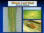 wheat leaf rust puccinia triticina