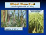 wheat stem rust puccinia graminis f sp tritici
