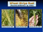wheat stripe rust puccinia striiformis f sp tritici