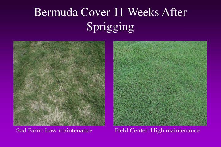Bermuda Cover 11 Weeks After Sprigging