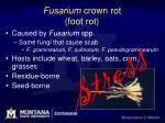fusarium crown rot foot rot1