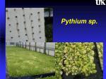 pythium sp