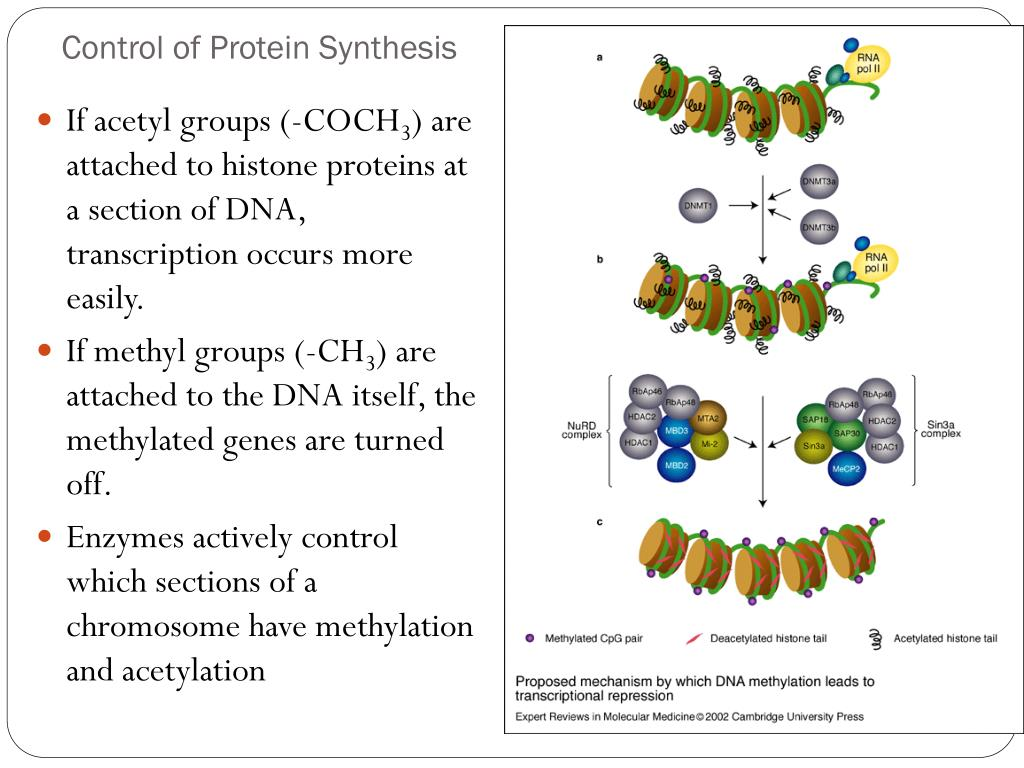 PPT - Chapter 8 DNA and RNA PowerPoint Presentation - ID ...