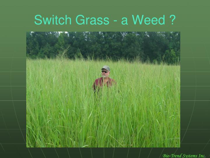 Switch Grass - a Weed ?