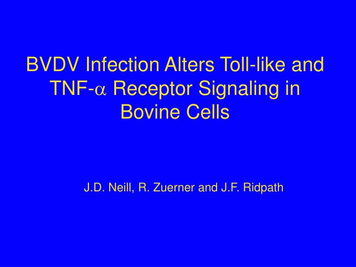 bvdv infection alters toll like and tnf receptor signaling in bovine cells