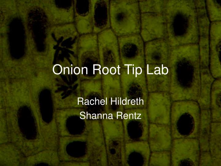 onion root tip lab n.