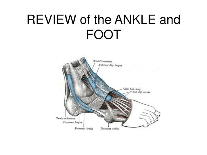 review of the ankle and foot n.