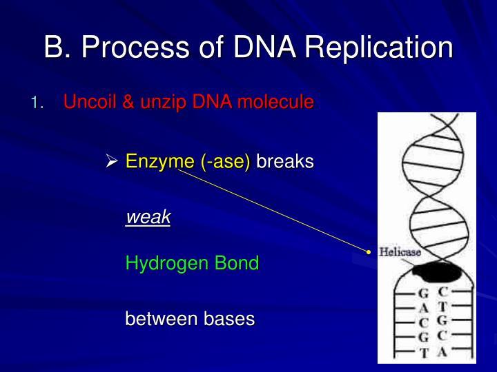 B. Process of DNA Replication