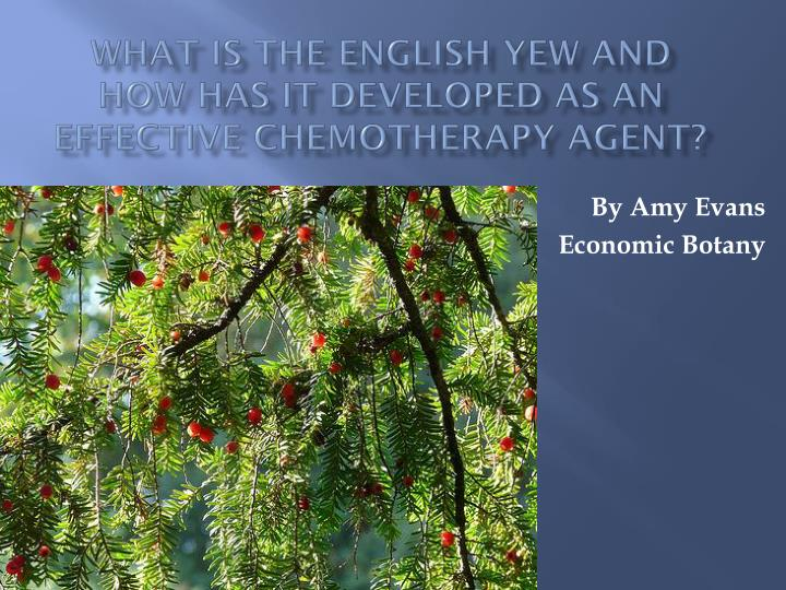what is the englis h yew and how has it developed as an effective chemotherapy agent n.