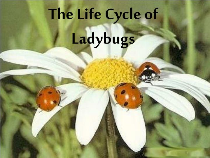 the life cycle of ladybugs n.