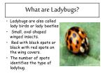 what are ladybugs
