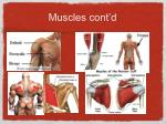 muscles cont d