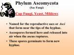 phylum ascomycota sac fungi