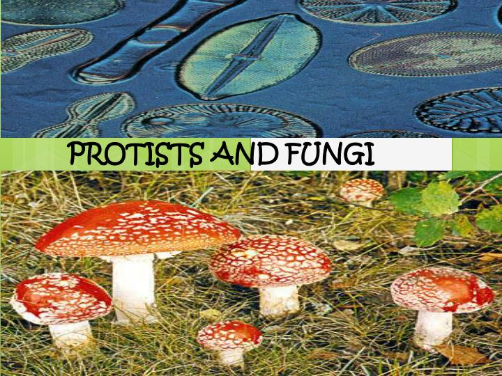 protists and fungi n.